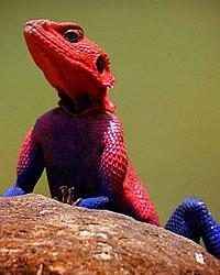 lagarto-aranha.jpg